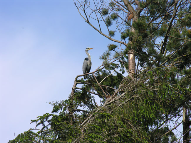 Herons nesting at the back of the Old Inn