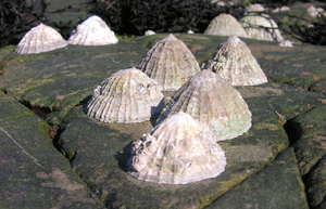 Limpets on the rocks